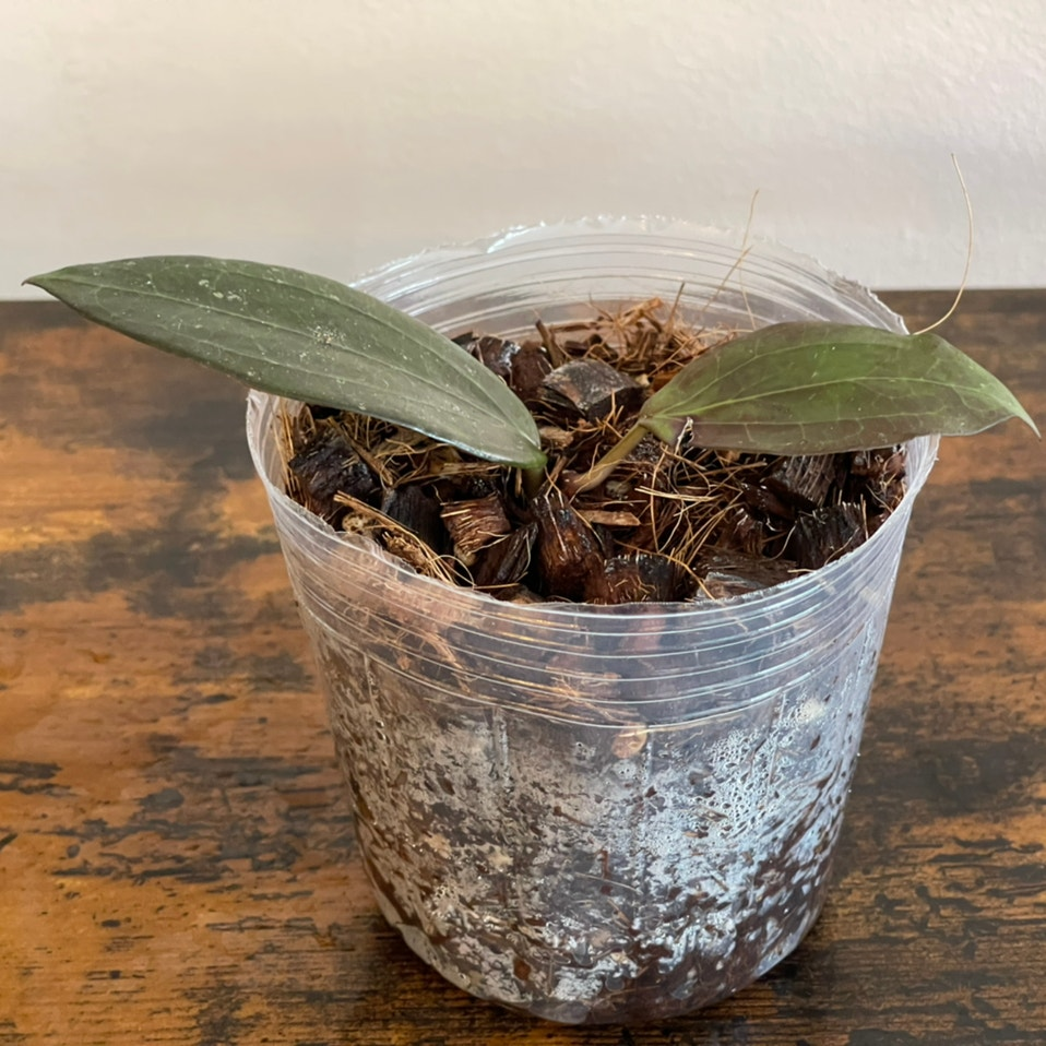 Photo of the plant species Hoya pottsii 'Khao Yai' by Cody named hoya pottsi khao yai on Greg, the plant care app