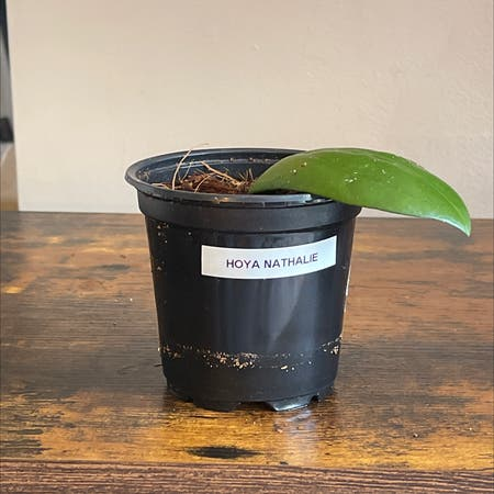 Photo of the plant species Hoya 'nathalie' by Cody named Hoya Nathalie on Greg, the plant care app