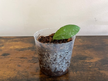 Photo of the plant species Hoya 'Millie' by Cody named Hoya Millie on Greg, the plant care app