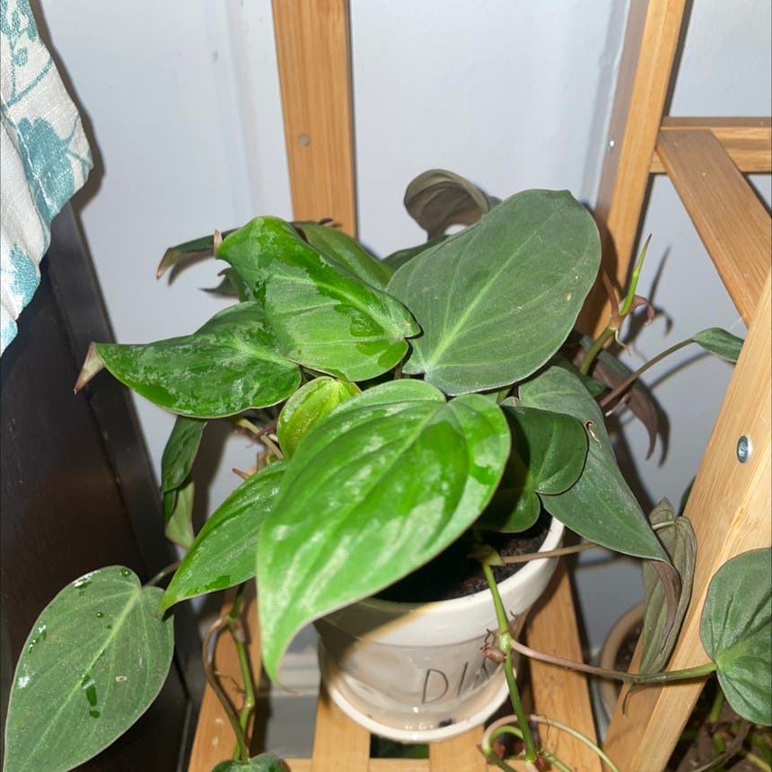 Philodendron 'Micans' plant in Jacksonville, North Carolina