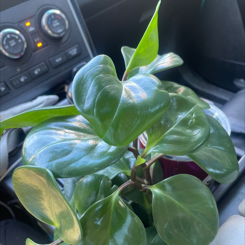 Baby Rubber Plant plant in Jacksonville, North Carolina