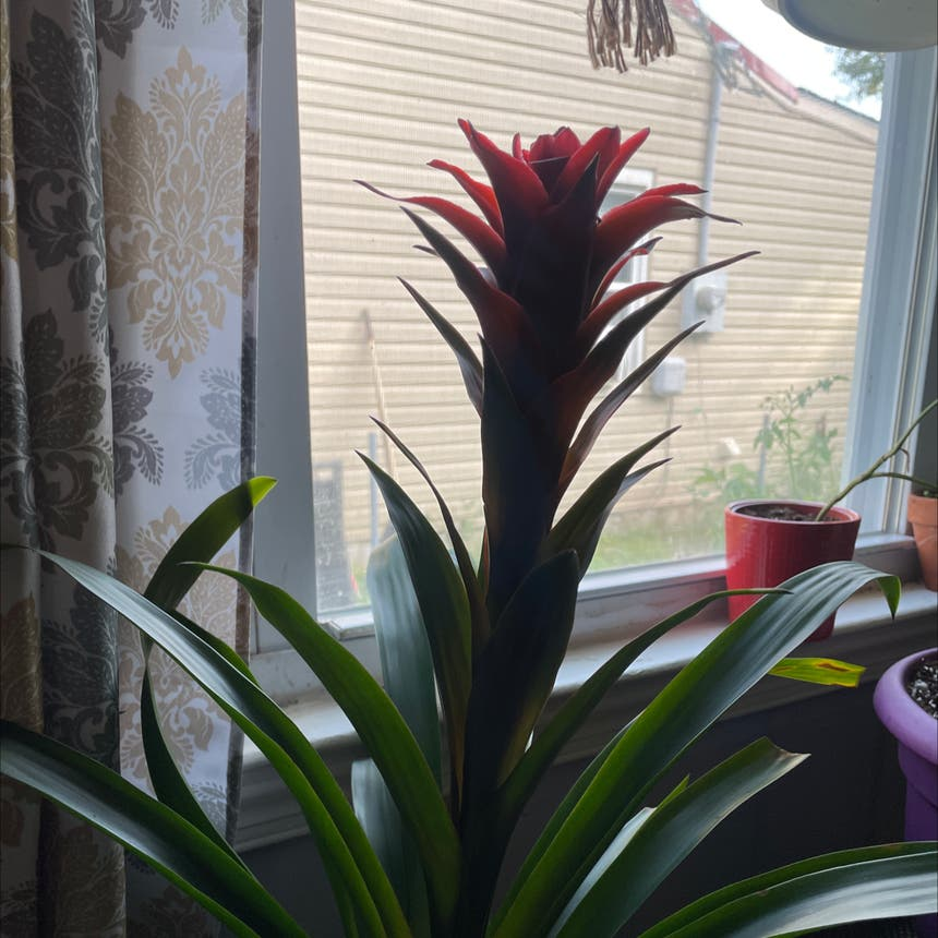 Bromeliad plant in Jacksonville, North Carolina