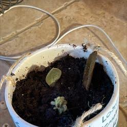 Bear's Paw Succulent plant