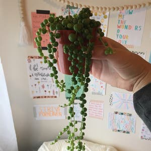 String of Pearls plant photo by Laurenr02 named Pearl on Greg, the plant care app.