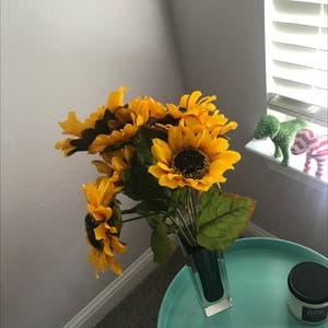 Fake Sunflowers plant photo by Mrs.nouh named Sunny on Greg, the plant care app.