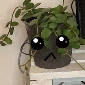 Peperomia Hope plant photo by Strypsx named fagee on Greg, the plant care app.