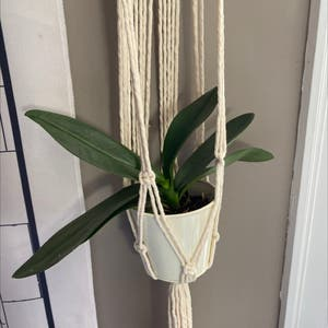 phalaenopsis orchid plant photo by Semi_skimmed_milk named wilson on Greg, the plant care app.