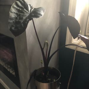 Taro plant photo by Jade named Your plant on Greg, the plant care app.