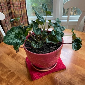 Persian Cyclamen plant photo by Patricia named Bella on Greg, the plant care app.