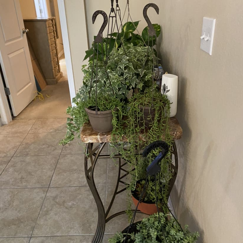 Curly Spider Plant plant in New Port Richey, Florida