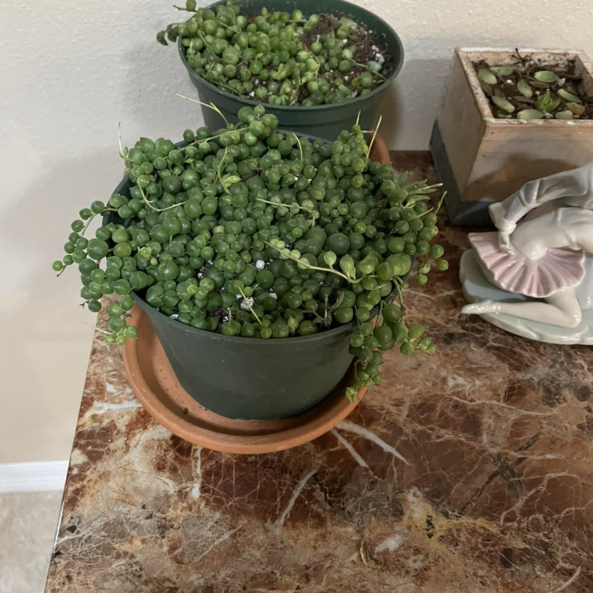 String of Pearls plant in New Port Richey, Florida