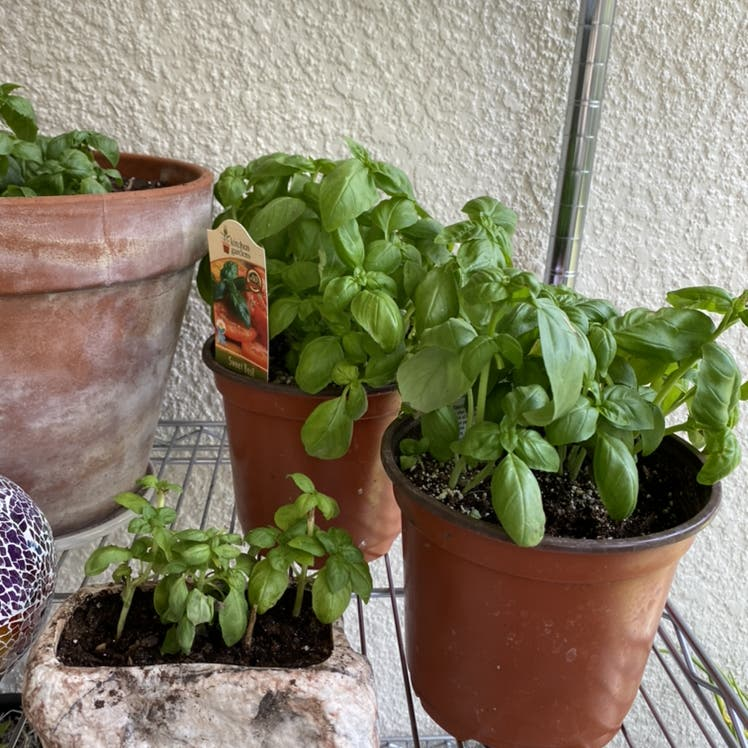 Sweet Basil plant in New Port Richey, Florida