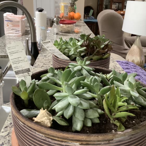 Bear's Paw Succulent plant in New Port Richey, Florida
