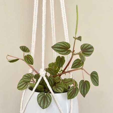 Photo of the plant species peperomia piccolo banda by Caitysplants named Peperomia Piccolo on Greg, the plant care app