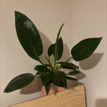 Photo of the plant species Philodendron 'Thai Congo' by Claudia named Congo on Greg, the plant care app
