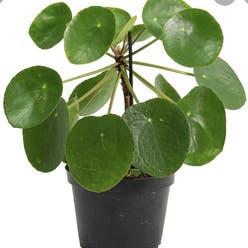 Chinese Money Plant plant