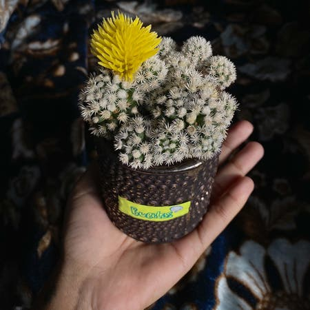 Photo of the plant species Mammillaria haageana by Nudga named bubbles💭 on Greg, the plant care app