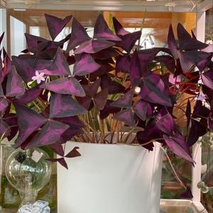 Purple Shamrocks plant photo by Houseplantjournal named Oxalis triangularis on Greg, the plant care app.