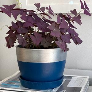 Purple Shamrocks plant photo by Nerskine named Catherine on Greg, the plant care app.