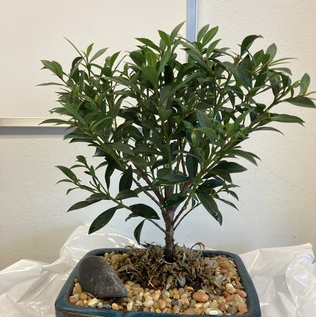 Photo of the plant species Brush Cherry by Matt named Bonsai Buddy on Greg, the plant care app