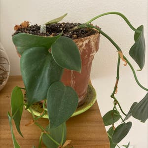 Heartleaf philodendron plant photo by Emily named Achilles on Greg, the plant care app.