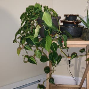 Heartleaf philodendron plant photo by Emily18 named Glen on Greg, the plant care app.