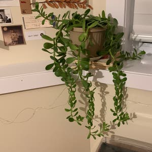 Trailing jade plant photo by Emily18 named Alexander hamilton on Greg, the plant care app.