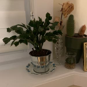 False Christmas Cactus plant photo by Emily18 named Winston on Greg, the plant care app.