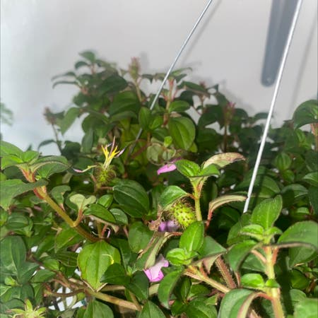 Photo of the plant species Heterocentron elegans by Gerrhelretuba named Toby on Greg, the plant care app