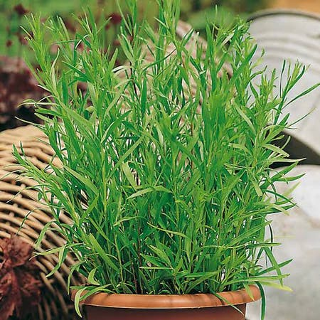 Photo of the plant species Estragon by Starfisher named Tarragon on Greg, the plant care app