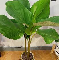 Photo of the plant species Cigar Plant by Starfisher named Tobacco on Greg, the plant care app