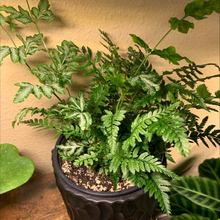 Photo of the plant species Korean Rock Fern by Jessaburra named Rocky on Greg, the plant care app
