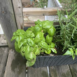 Sweet Basil plant photo by Mulchinmaeve named Basil Fawlty on Greg, the plant care app.