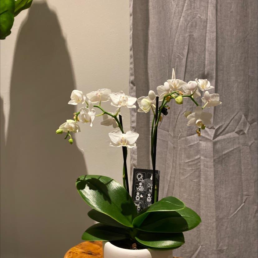 Moon Orchid plant in Toronto, Ontario
