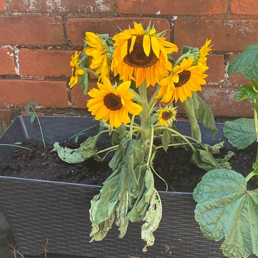 Common Sunflower plant in Toronto, Ontario
