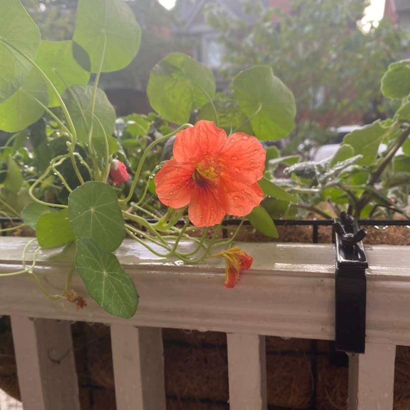 Garden nasturtium plant in Toronto, Ontario