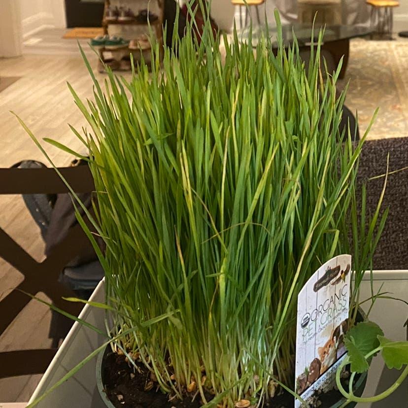Wheatgrass plant in Toronto, Ontario