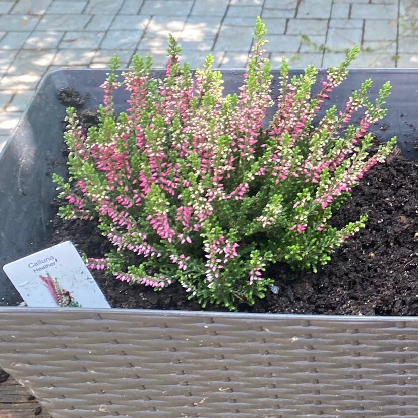 Heather plant in Toronto, Ontario