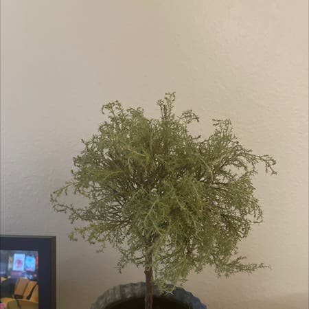Photo of the plant species Hesperocyparis Macrocarpa by Afwreck named Gates on Greg, the plant care app