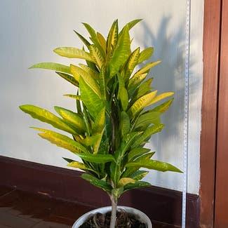 Gold Dust Croton plant in Bangkok, Bangkok