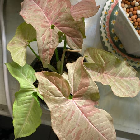 Photo of the plant species Syngonium Pink Spot by Munmunl named Spotted Tissue on Greg, the plant care app