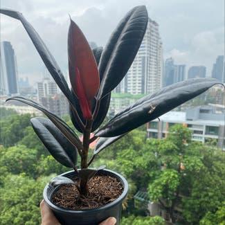 Rubber Plant plant in Bangkok, Bangkok