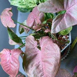 Pink Syngonium plant in Bangkok, Bangkok