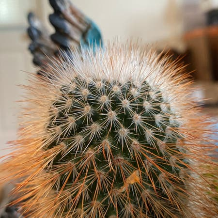 Photo of the plant species Mammillaria columbiana by Sean named Foxxy on Greg, the plant care app