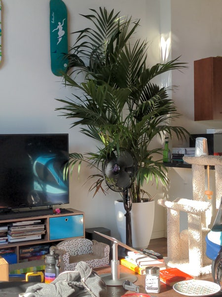 Photo of the plant species Adonidia Merrillii by Matt named Rainier on Greg, the plant care app