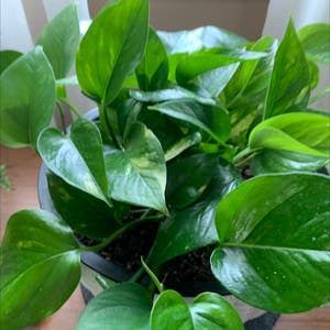 Golden Pothos plant photo by Cellakay named Delilah on Greg, the plant care app.