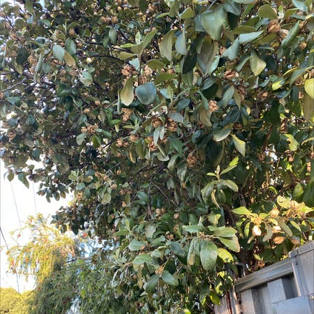 Photo of the plant species Lagunaria by Maliha named Your plant on Greg, the plant care app