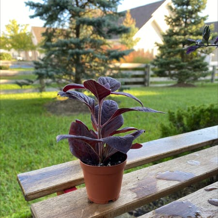 Photo of the plant species Blood Amaranth by Wilson6275 named Bigleef Smalls on Greg, the plant care app