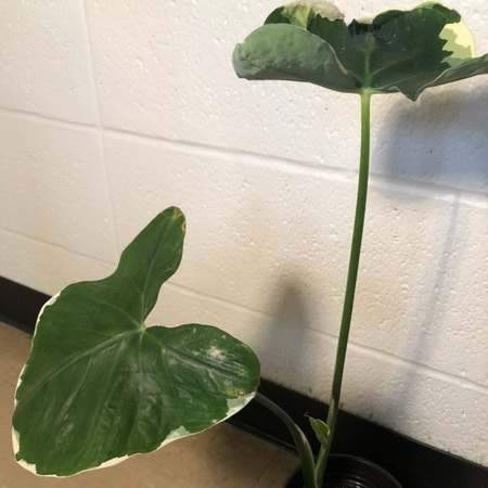 Photo of the plant species Pocket Plant by Pearlybird named Lulu on Greg, the plant care app