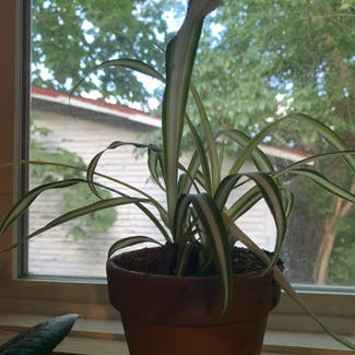 Spider Plant plant in Columbus, Ohio